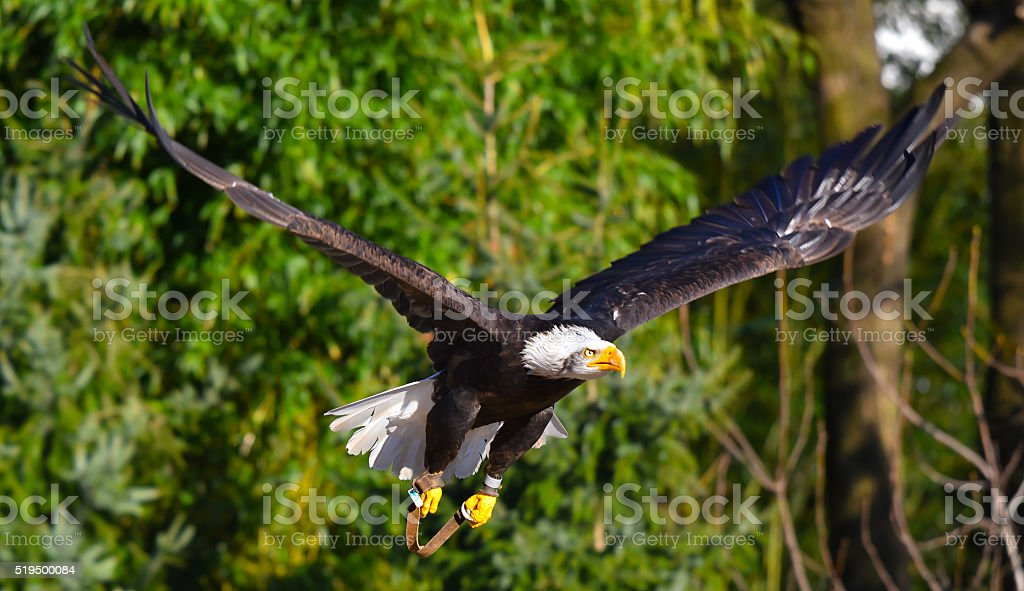 Eagle in flight stock photo