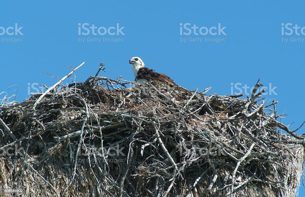 Eagle in the nest at Isla de los Pajaros stock photo