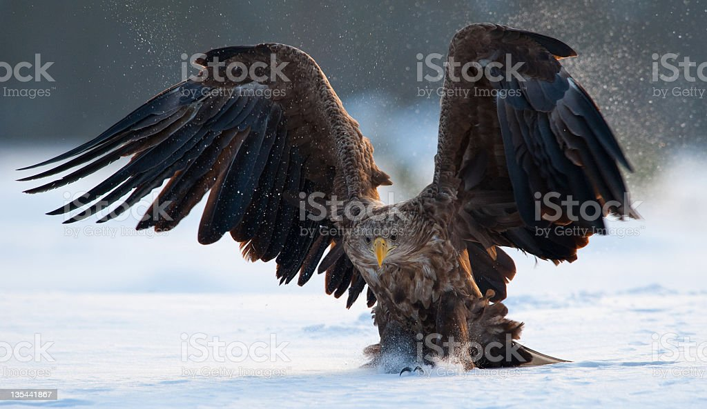 Eagle landing stock photo