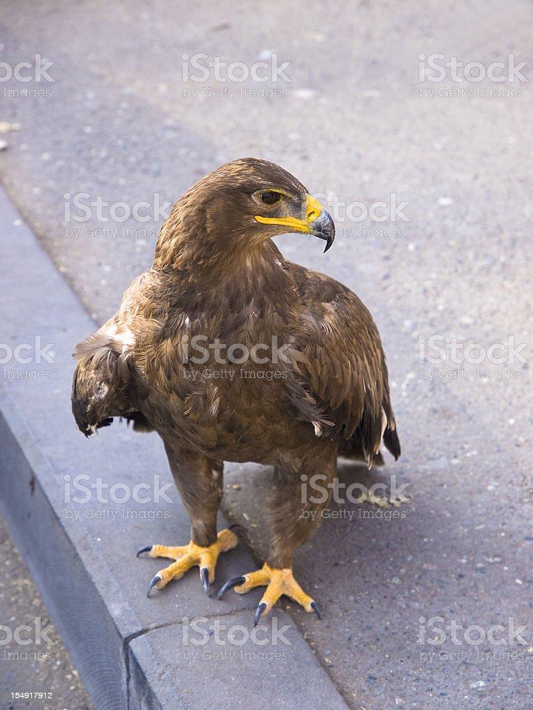 Eagle on the street stock photo
