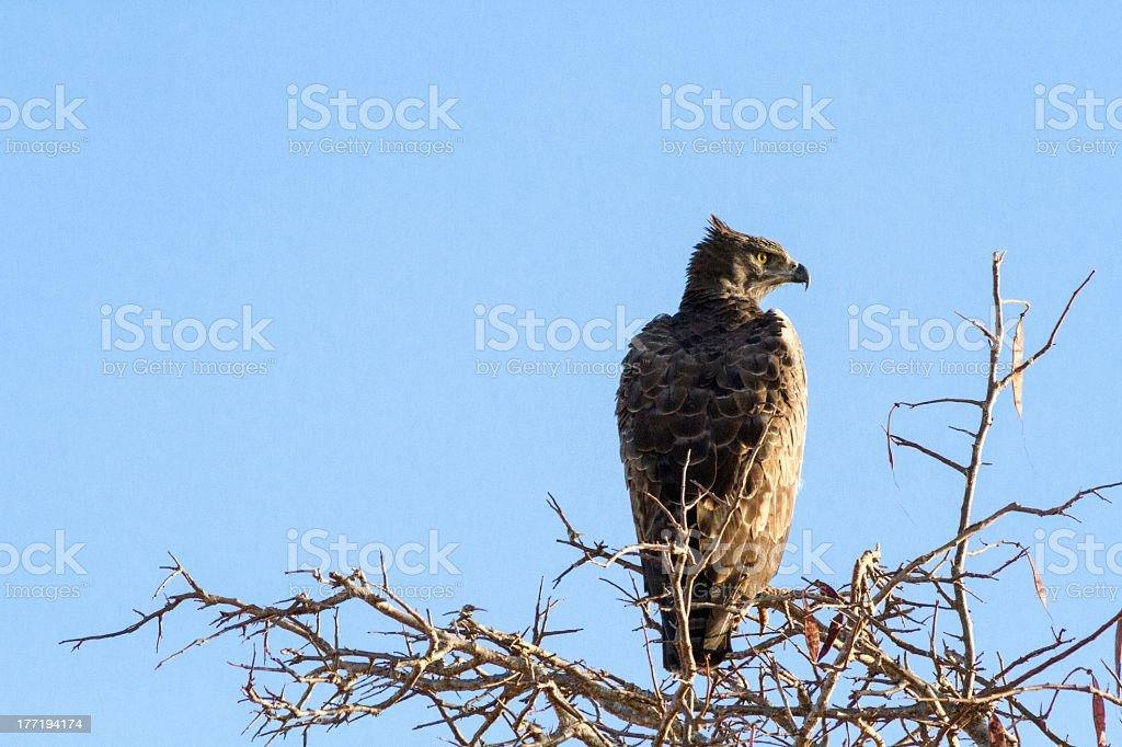 Eagle On Tree royalty-free stock photo