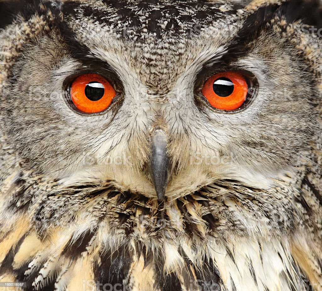 Eagle Owl Close Up stock photo