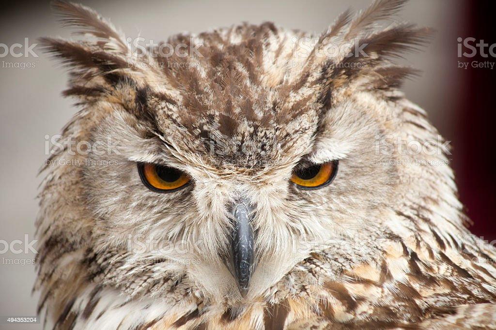 Eagle owl close up. stock photo