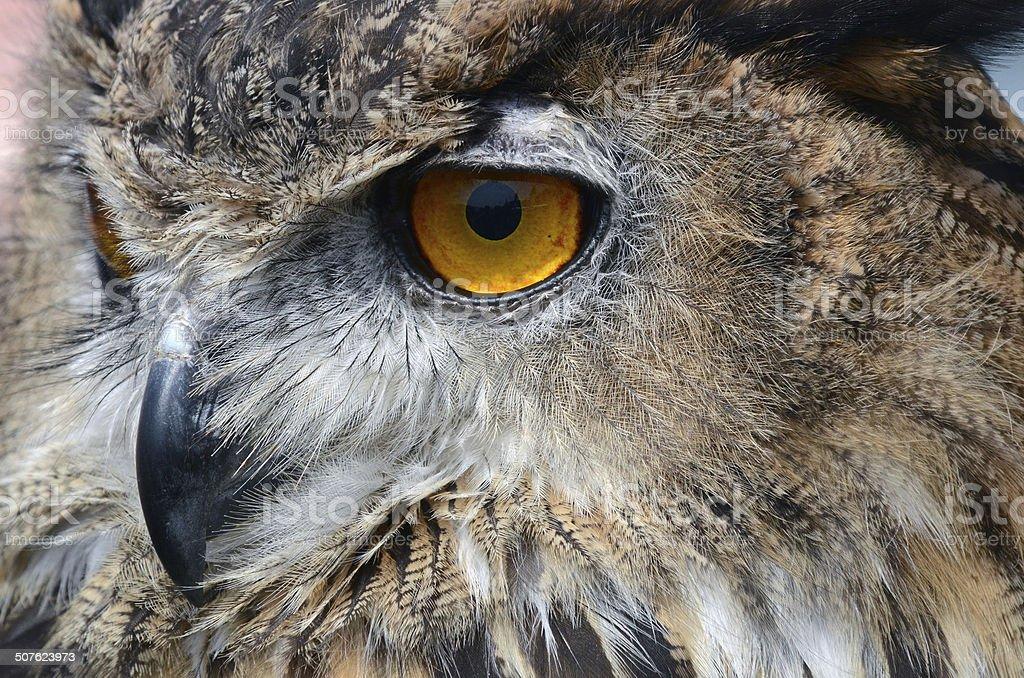 Eagle Owl royalty-free stock photo