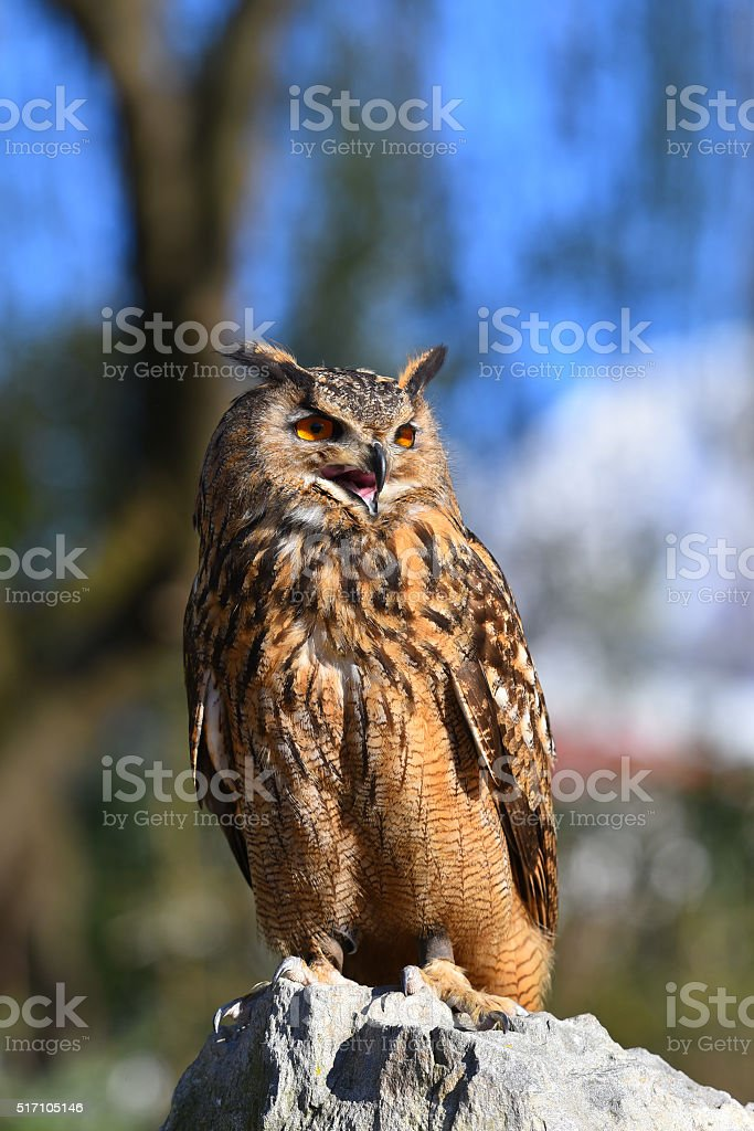 eagle owl that looks something sitting on a rock stock photo