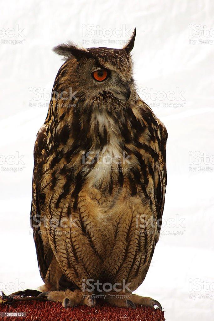 Eagle Owl Wisdom royalty-free stock photo