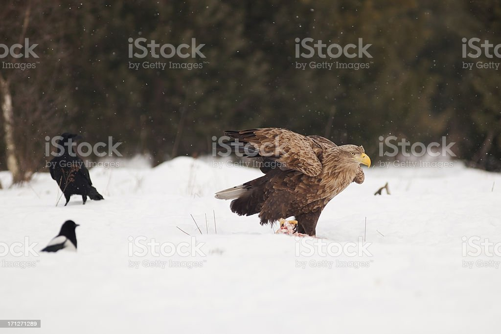 Eagle. royalty-free stock photo