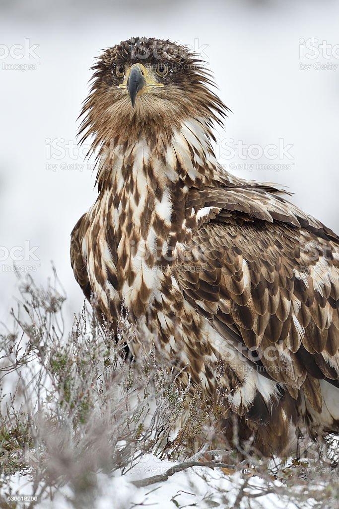 Eagle portrait in winter. Bird of prey in winter. stock photo