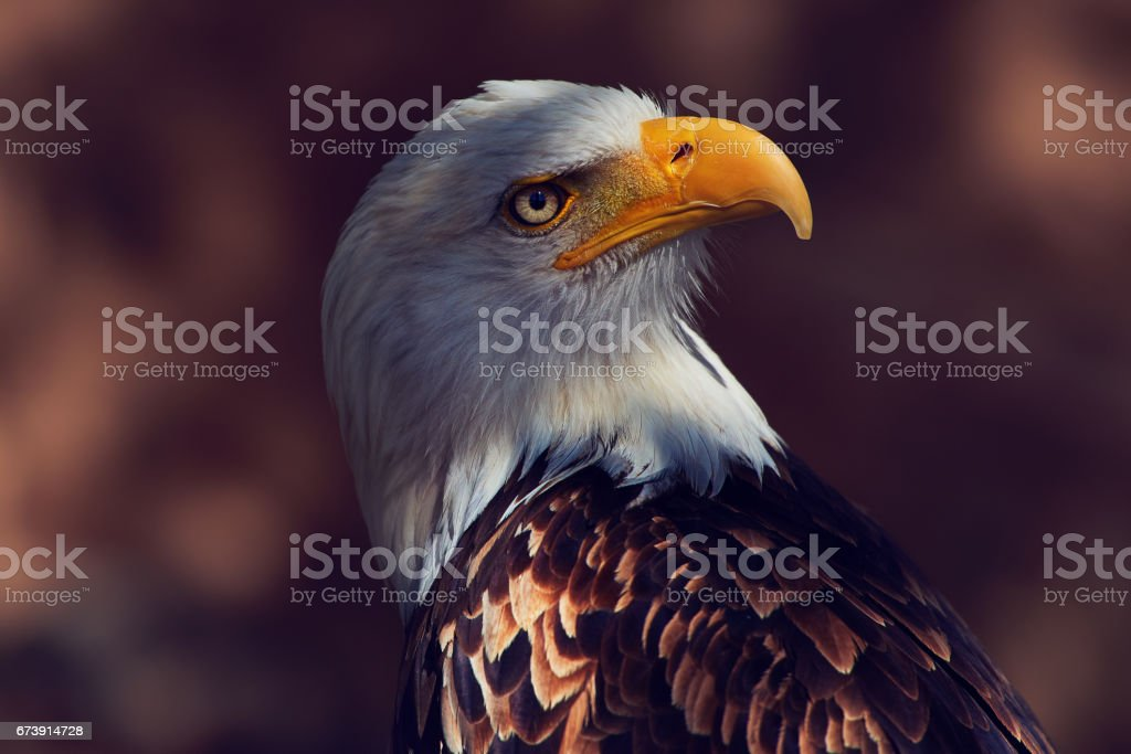 eagle portrait looking away stock photo