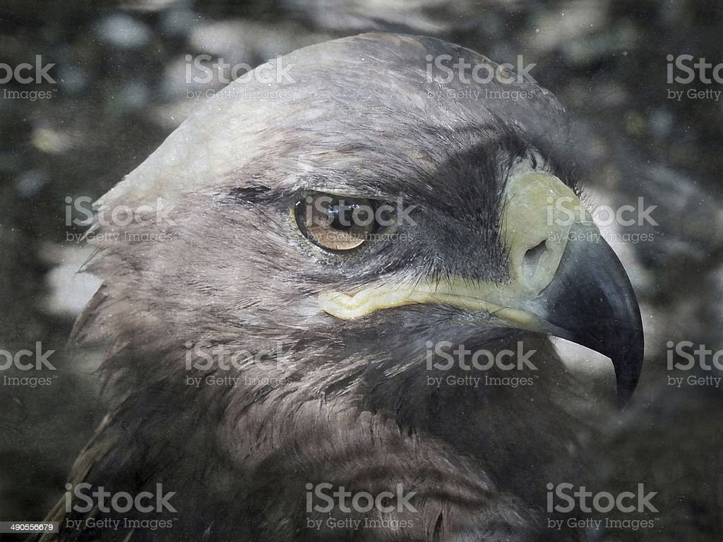 Eagle portrait royalty-free stock photo