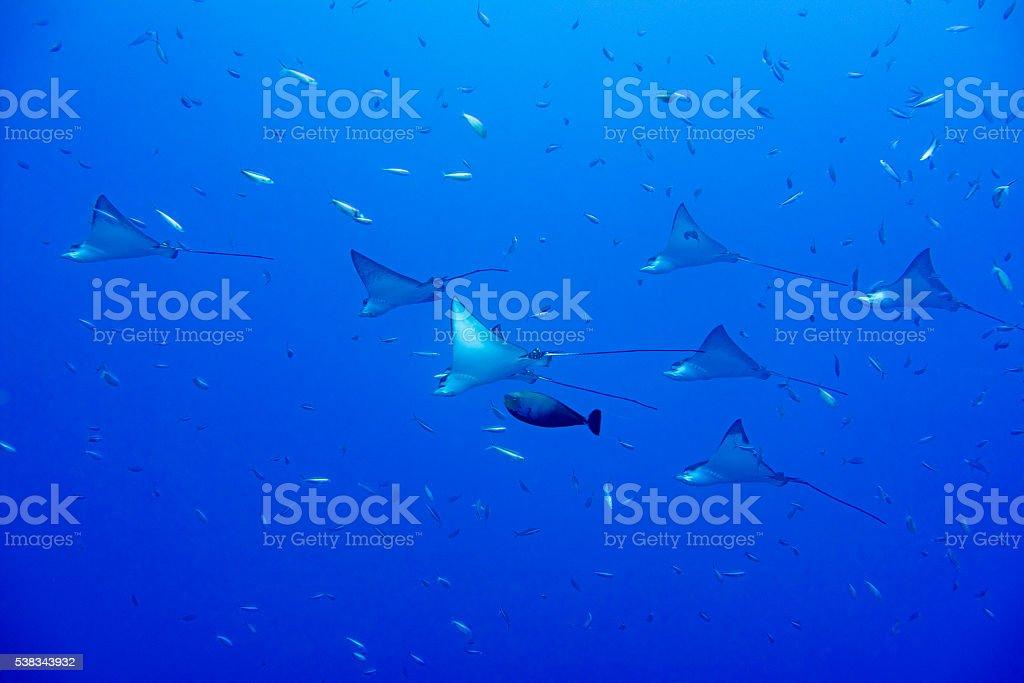 eagle ray manta while diving in Maldives stock photo