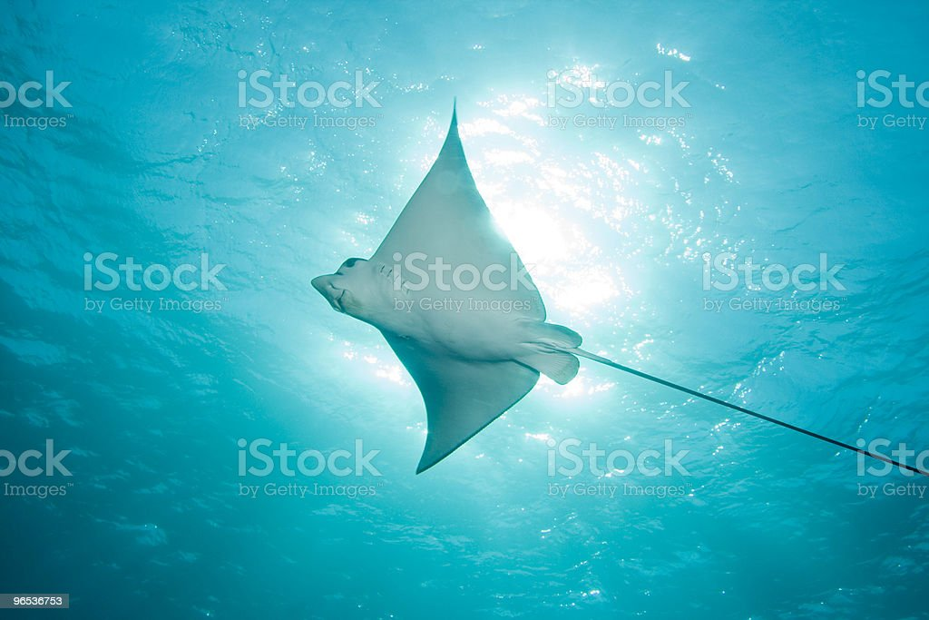 Eagle Ray swimming in ocean photographed from below stock photo