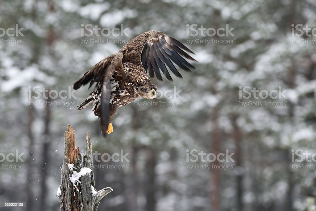 Eagle take-off. White-tailed eagle take-off in winter, snowy trees on background. stock photo