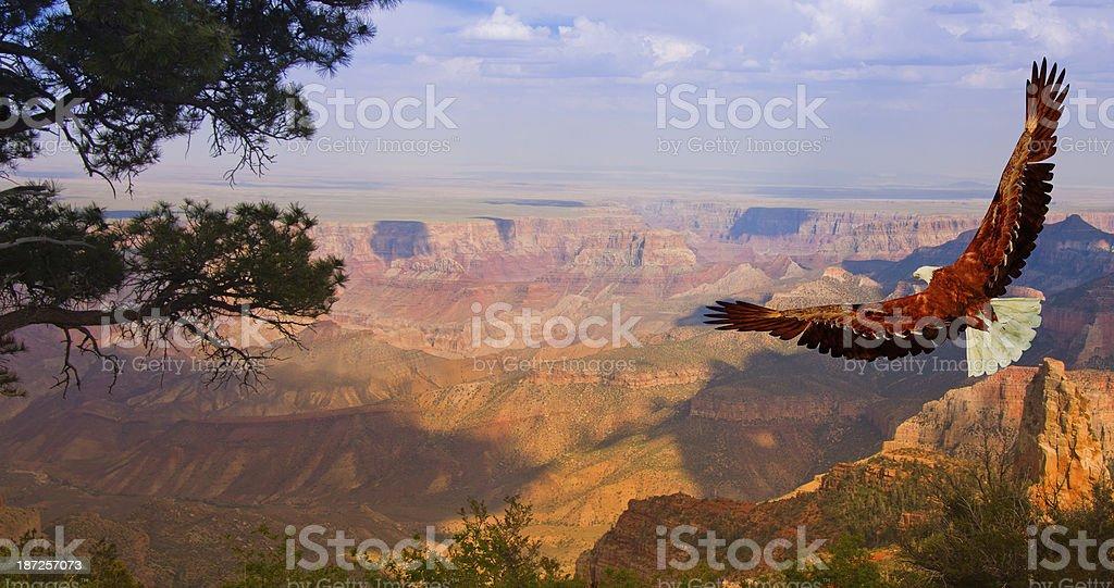 Eagle takes flight over Grand Canyon USA stock photo