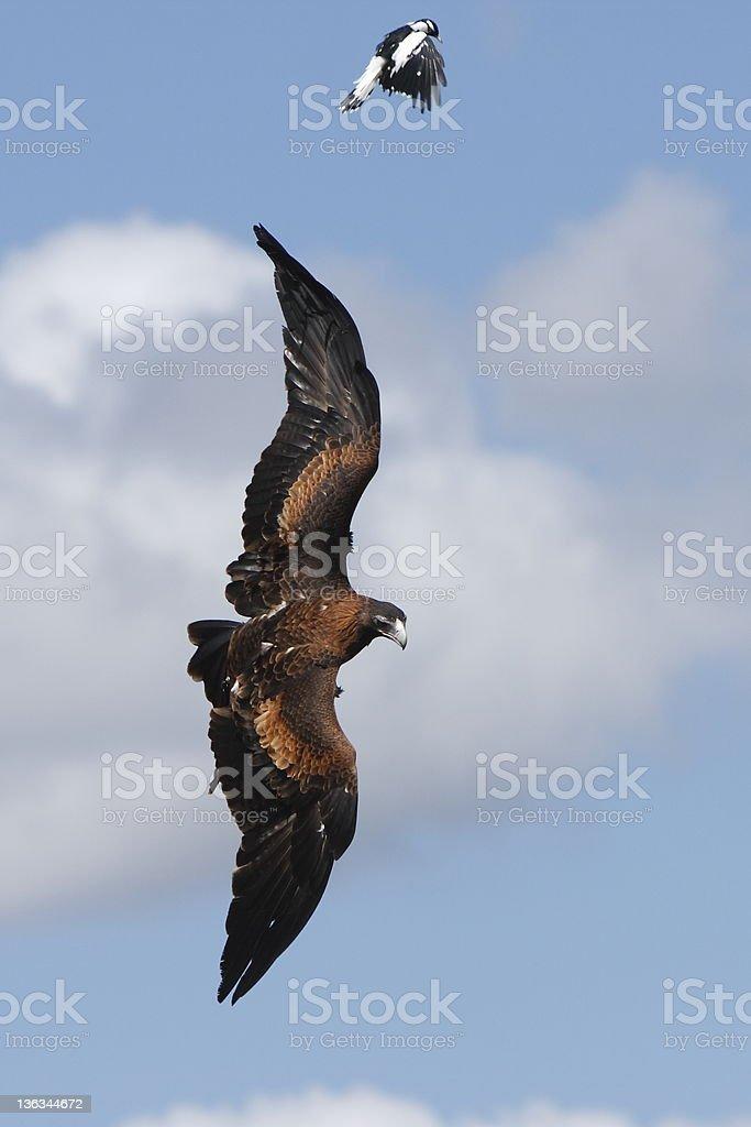 Eagle Takes Fright stock photo