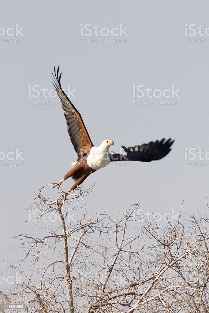 Eagle Taking Off royalty-free stock photo
