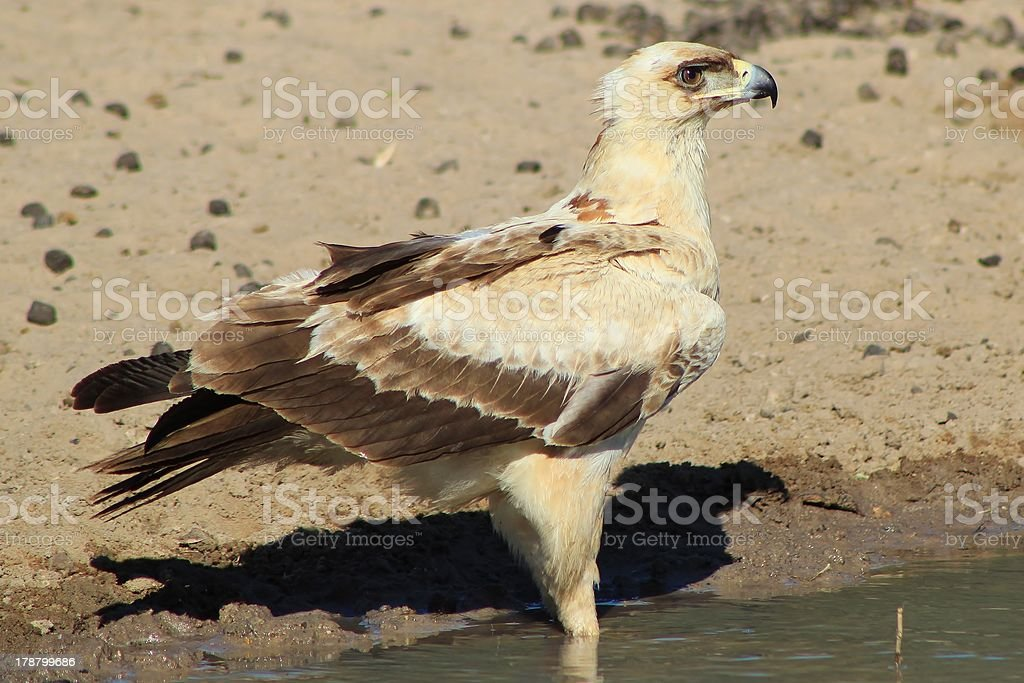 Eagle, Tawny - African Young Pride and Beauty royalty-free stock photo