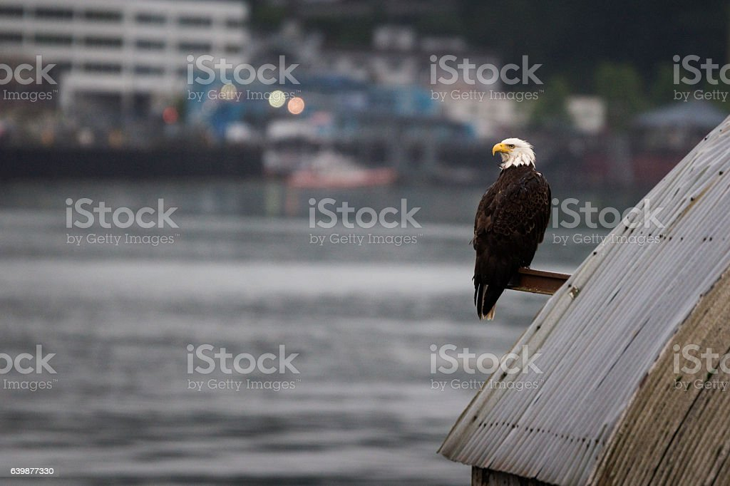 Eagle watches over the channel stock photo