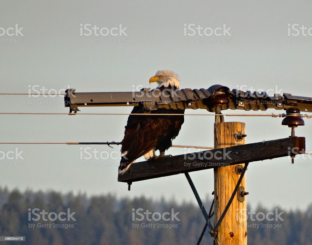 Eagle Watching Its Back stock photo