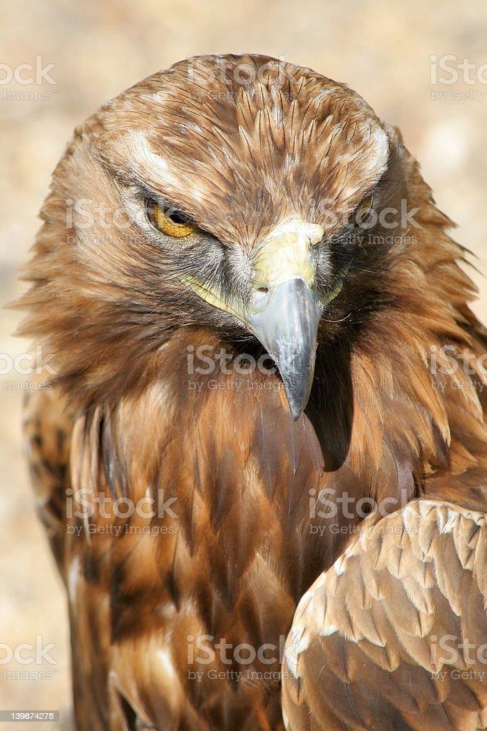 Eagled-eyed stock photo