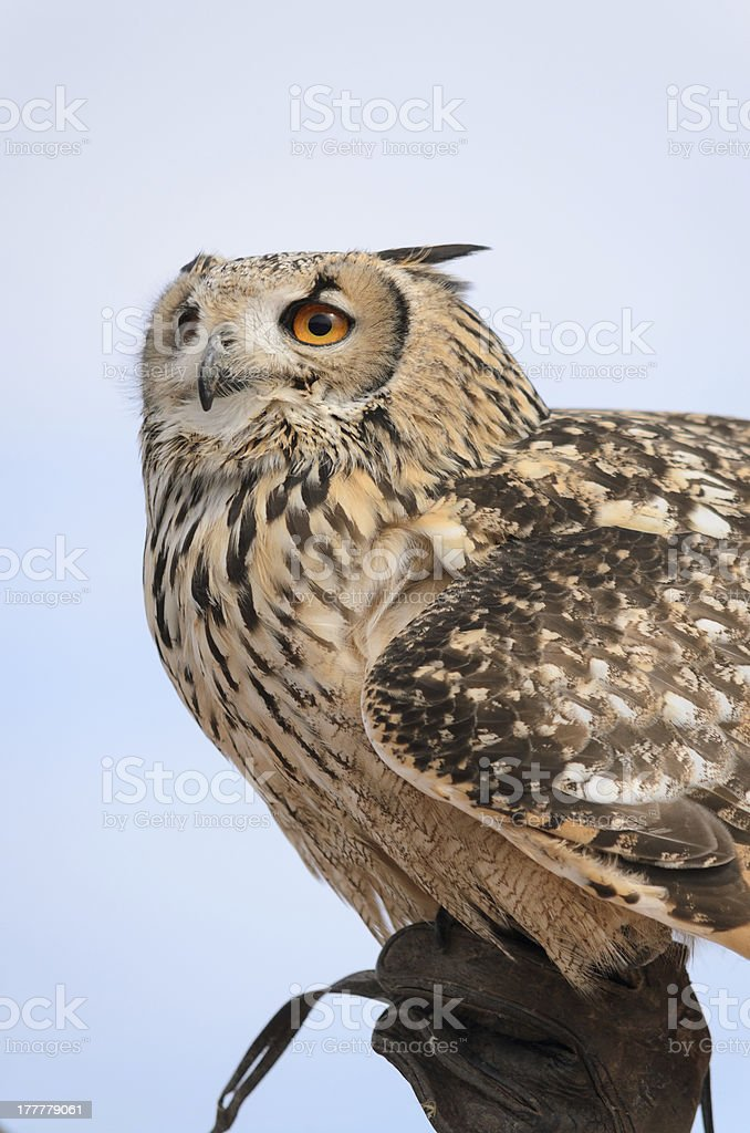 eagle-owl on breeder's hand royalty-free stock photo