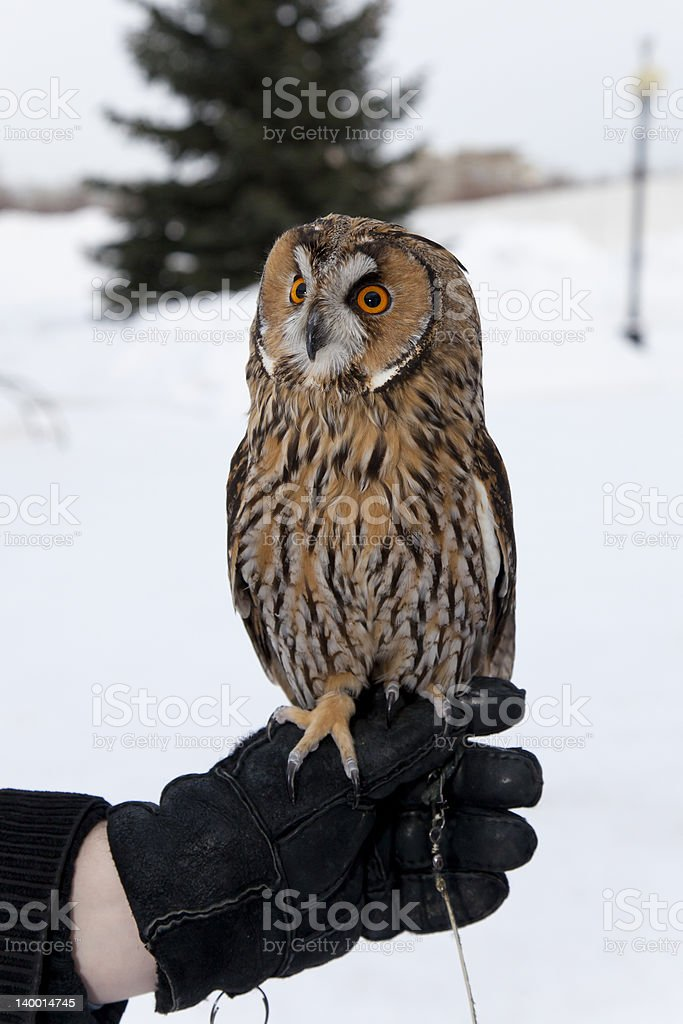 eagle-owl on his hand royalty-free stock photo
