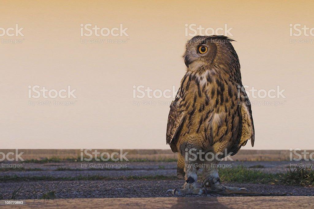 Eagle-owl royalty-free stock photo