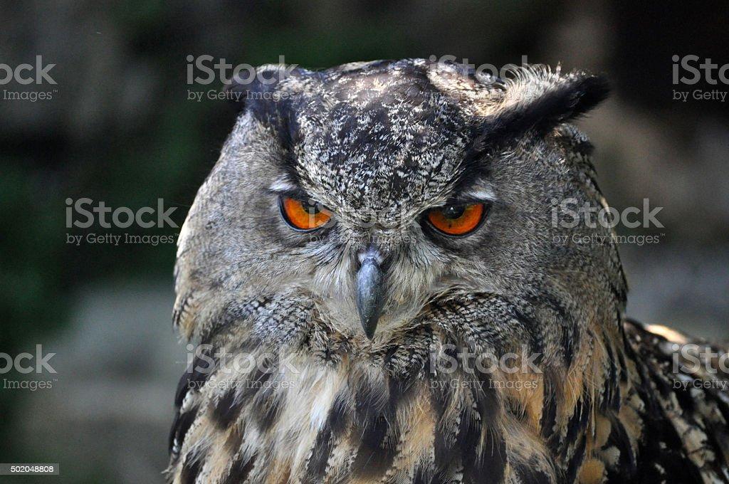 Eagle-Owl (Bubo Bubo) stock photo