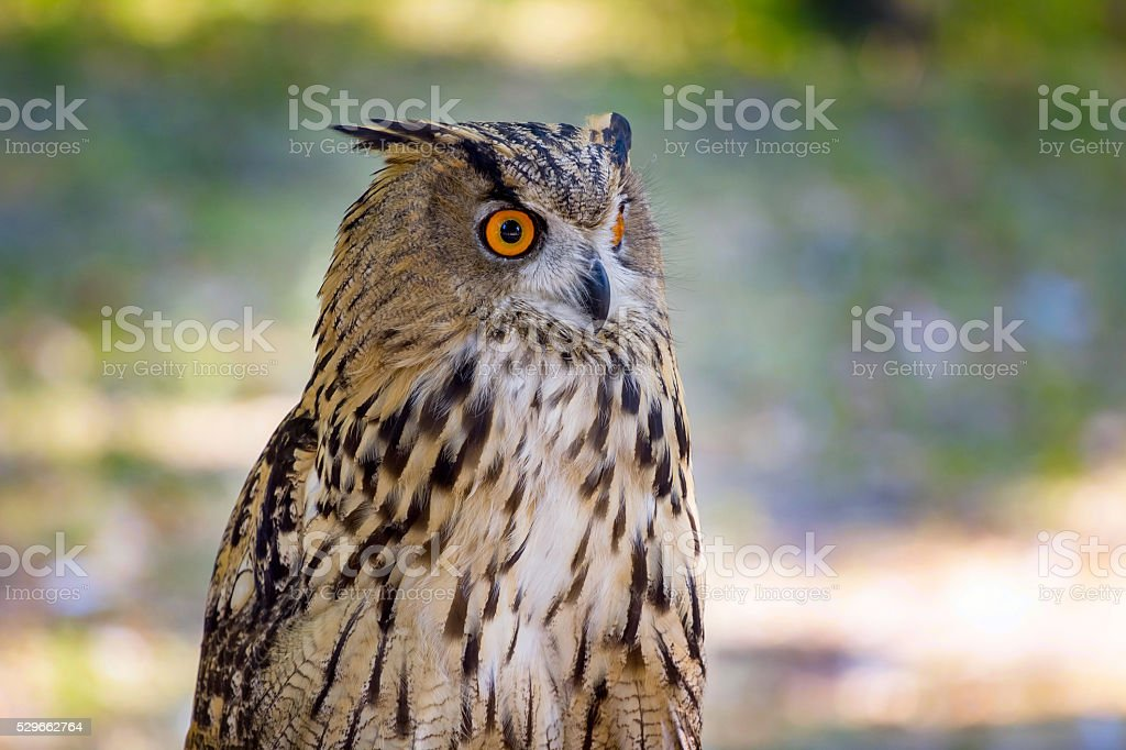 Eagle-owl with orange eyes stock photo