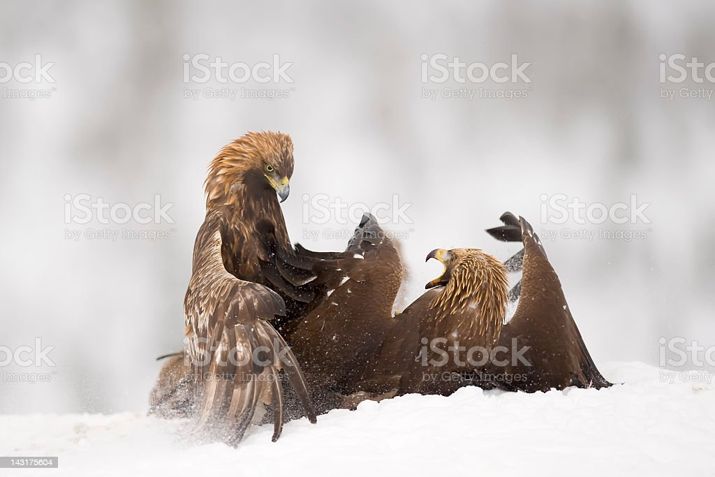 Eagles are fighting royalty-free stock photo