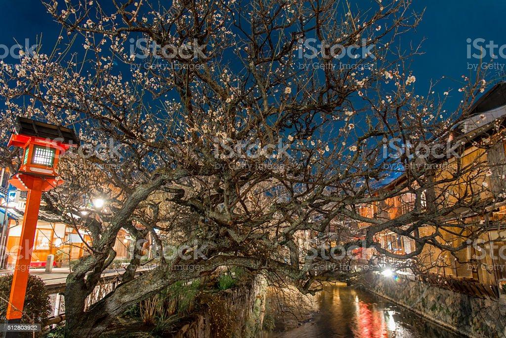 ealry plum flower blossom stock photo
