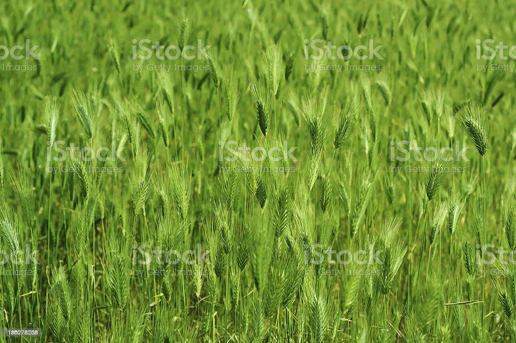 Ear field royalty-free stock photo