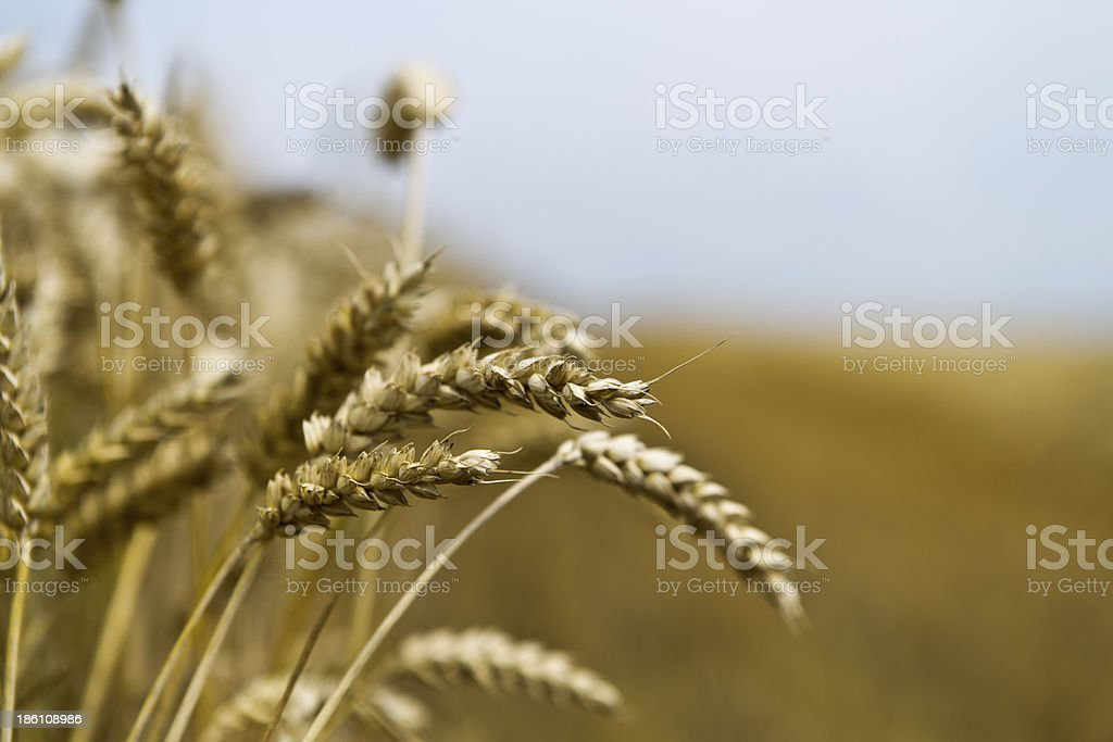 Ear of barley royalty-free stock photo