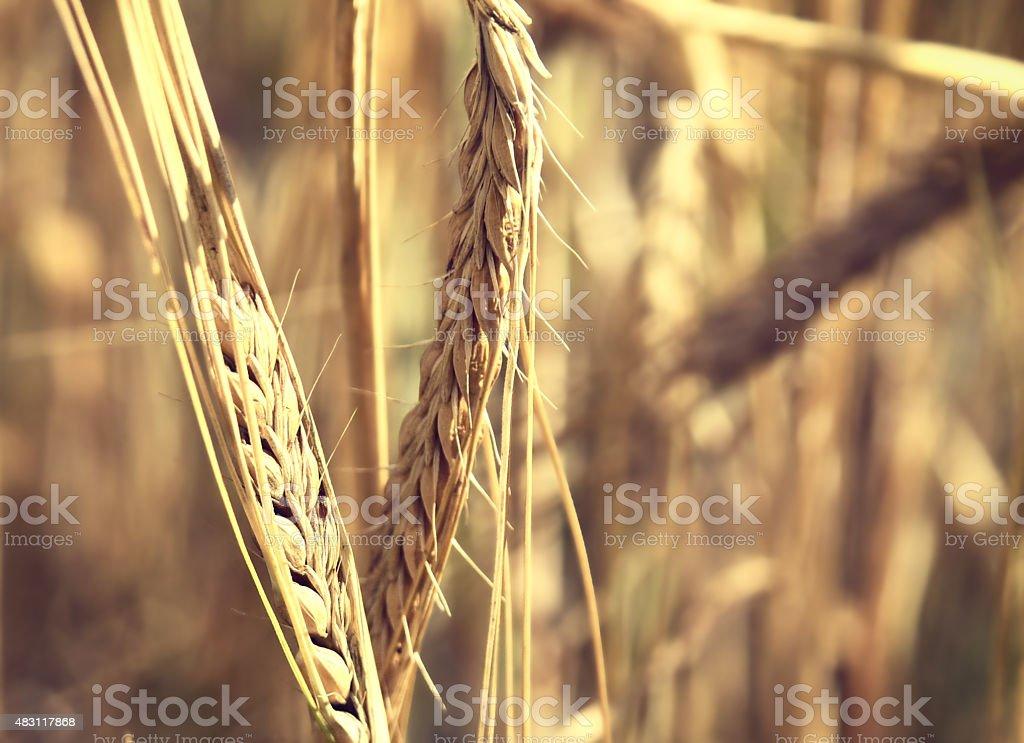 Ear of Barley stock photo