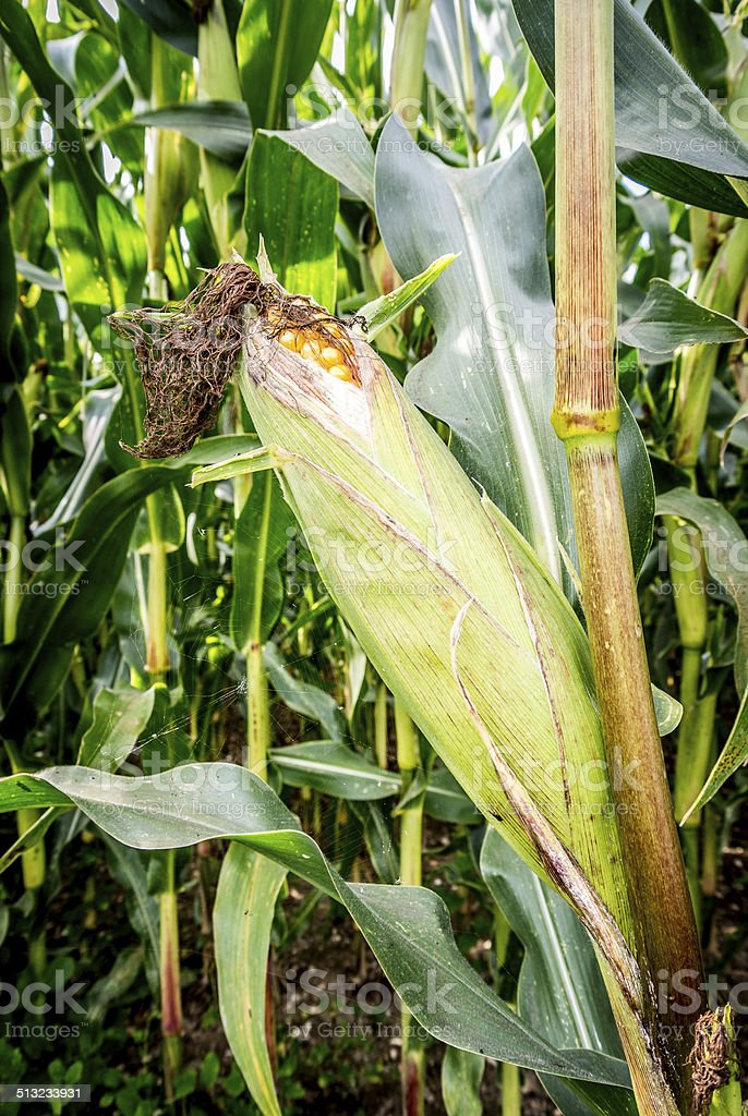 Ear of corn, Agriculture stock photo