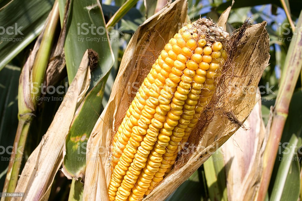 Ear of Corn in Real Life (not perfect) royalty-free stock photo