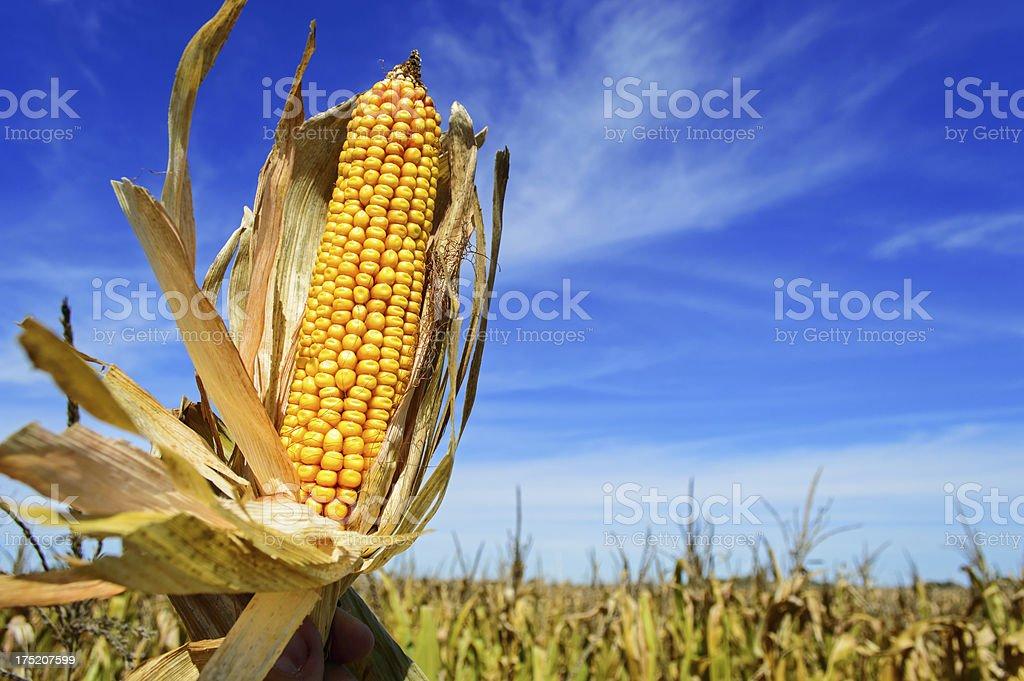 Ear of corn in the sky stock photo