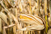 Ear of Corn On Stalk Ready for Harvest