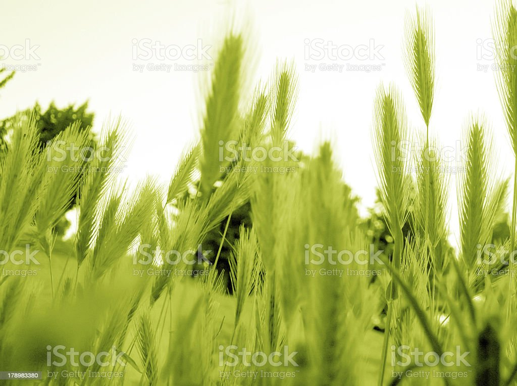 ear of green wheat royalty-free stock photo