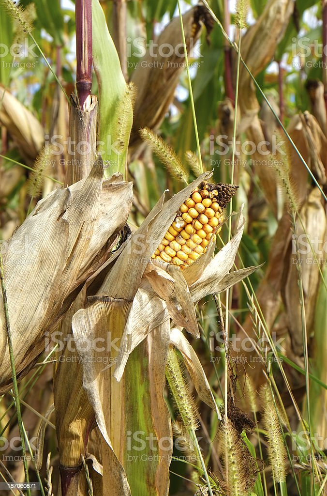 Ear of maize royalty-free stock photo