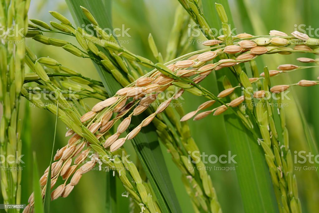 Ear of paddy in green field harvest royalty-free stock photo