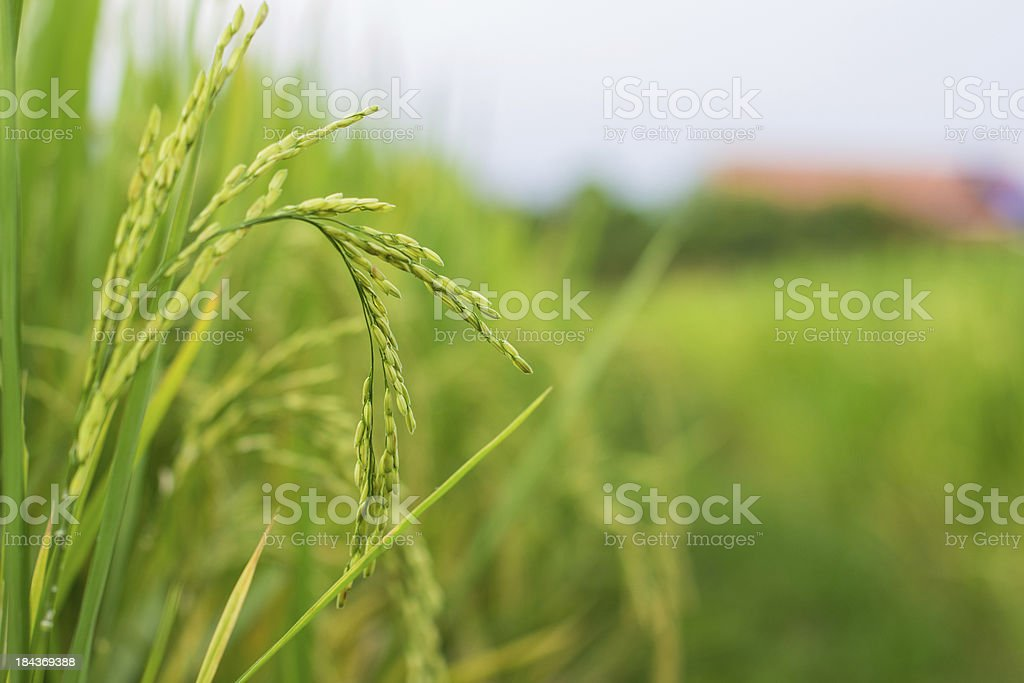 Ear of paddy, rice royalty-free stock photo