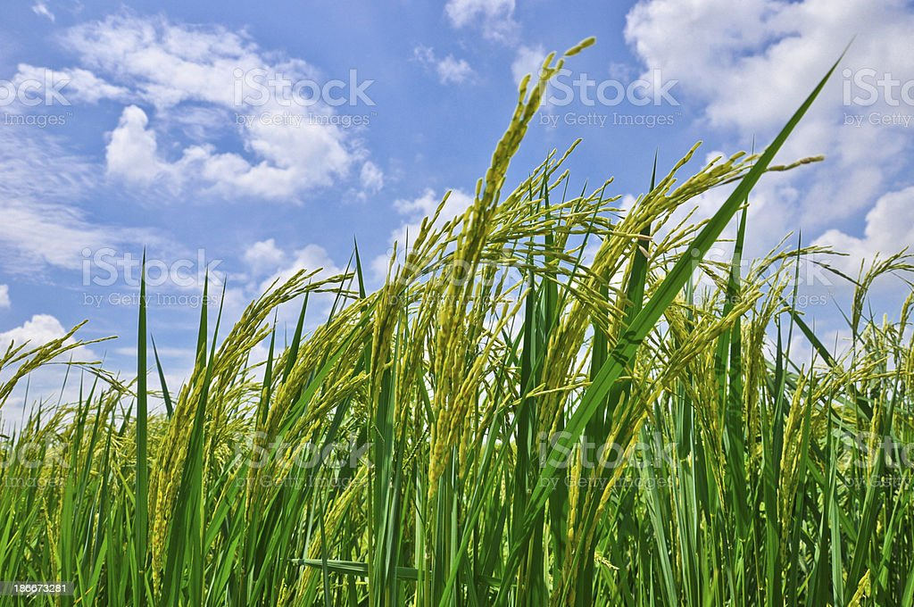 Ear of rice grow up royalty-free stock photo