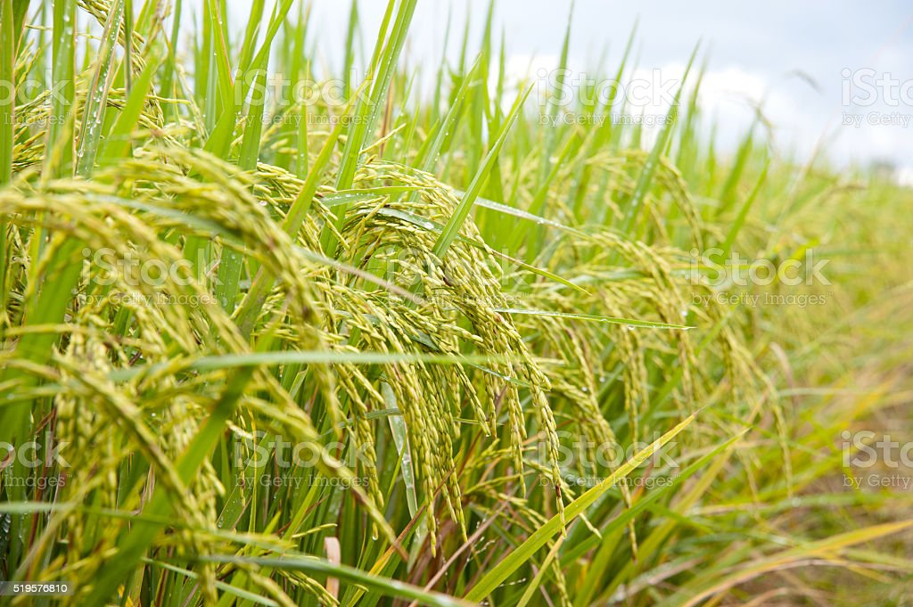 ear of rice stock photo