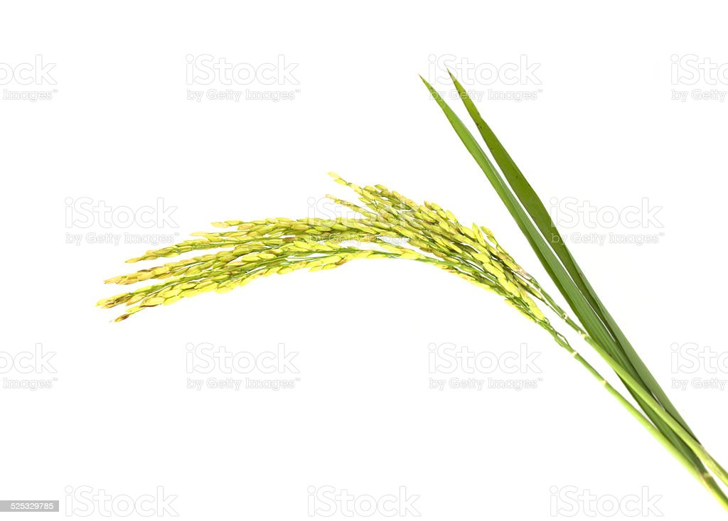 ear of rice stock photo