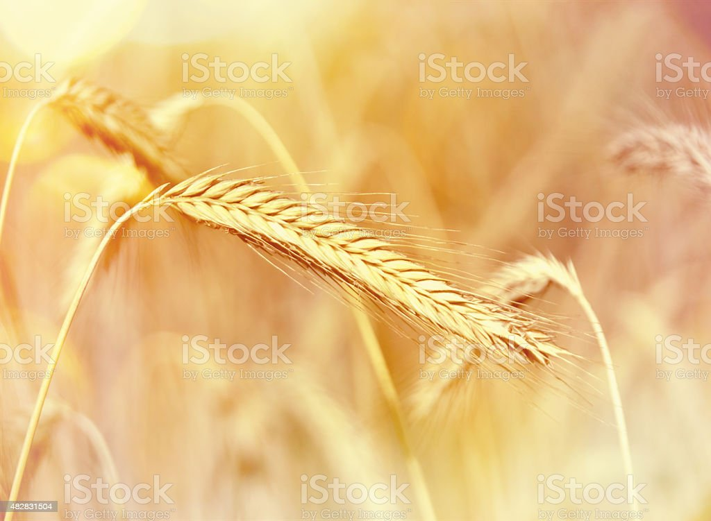 Ear of Rye stock photo