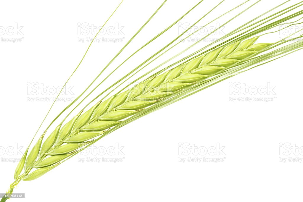 Ear of two-row green barley on white background stock photo