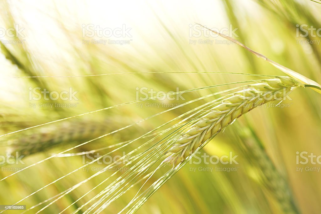 Ear of wheat in field royalty-free stock photo