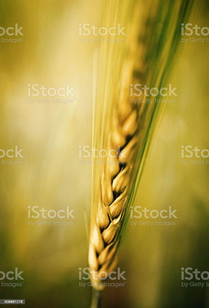 Ear of wheat. stock photo