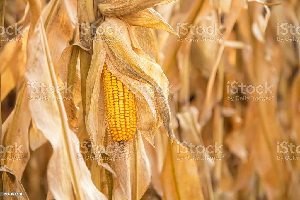 Ear of Yellow Corn In Field Ready for Harvest stock photo